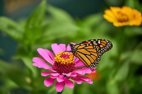 Monarch Butterfly on a Pink Zinnia Flower. Image taken with a Fuji X-H1 camera and 80 mm f/2.8 macro lens