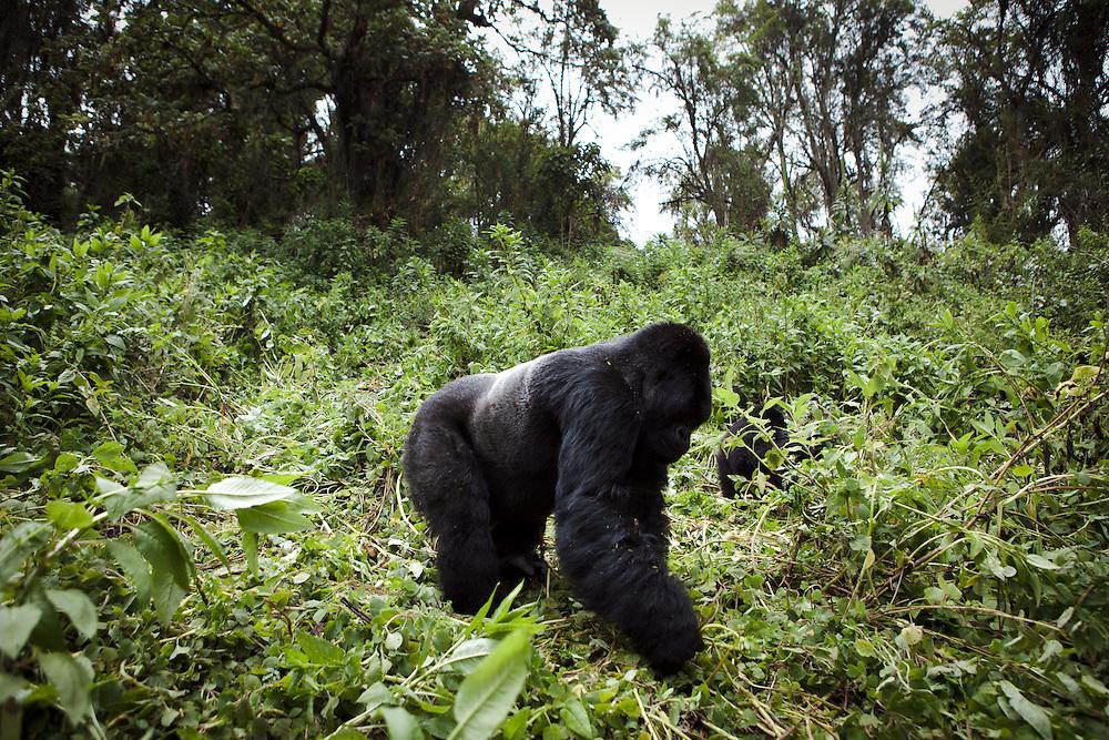 Silverback Mountain Gorillas in Rwanda