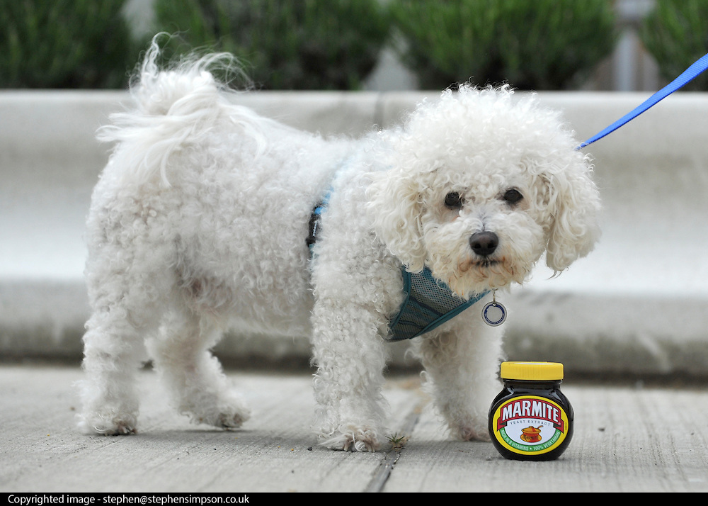 "© under license to London News Pictures. LONDON, UK  06/05/2011. Bichon Frise, Mario looking at a pot of Marmite. Dogs Enjoying Marmite at Battersea Dogs and Cats Home today (06 May 2011). 100 Jars were delivered to the home as part of a prize. You either love it or hate it, but at Battersea, marmite is causing quite a stir amongst the dogs. Jars of the yeast extract, which has polarised the nation into lovers and haters, are polished off in no time by Battersea's canine residents who have developed quite a taste for the spread. Today 100 of the famous yellow topped glass jars will cause tails to wag in the kennels when they are delivered to the Home. The year's supply of Marmite is a rather unusual, but very welcome prize to Battersea Chief Executive Claire Horton who will be presented with one of the first ever Dogs Today Endal Awards for Services to Animals. Claire Horton who requested the prize for the dogs, in favour of the usual dog food awarded,  commented: ""Battersea dogs definitely 'love it' when it comes to Marmite. We like to provide our dogs with lots of different activities throughout the week to try and help them cope better in a kennel environment. One of the dogs' favourites is licking Marmite from chew toys - it keeps them entertained for hours."" Claire will be presented with her Endal Award by Marmite Brand Manager David Titman at the 2011 London Pet Show, taking place at Kensington Olympia, tomorrow, Saturday 7th May.Photo credit should read Stephen Simpson/LNP."