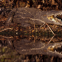 North American Crocodile. Ding Darling National Wildlife Refuge. Sannibel Island, Florida.