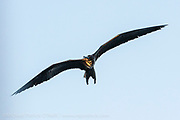 A Great Frigatebird or Pirate Bird, Fregata minor, soars with its massive wings over the Galapagos Islands, Ecuador.