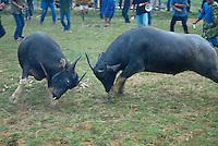 Indonesie. Sulawesi (Celebes). Pays Toraja, Tana Toraja. Ceremonie funeraire. Combat de buffle.// Indonesia. Sulawesi (Celebes Island). Tana Toraja. Toraja funeral ceremony. Buffalo fighting.