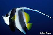 longfin bannerfish, Heniochus acuminatus, Liberty Wreck, Bali, Indonesia
