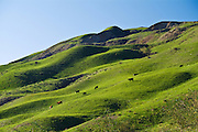 Grazing Cows On The Rolling Green Hills In Piru California