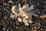 Seaweed growing in shingle beach, Shingle Street, Suffolk, England