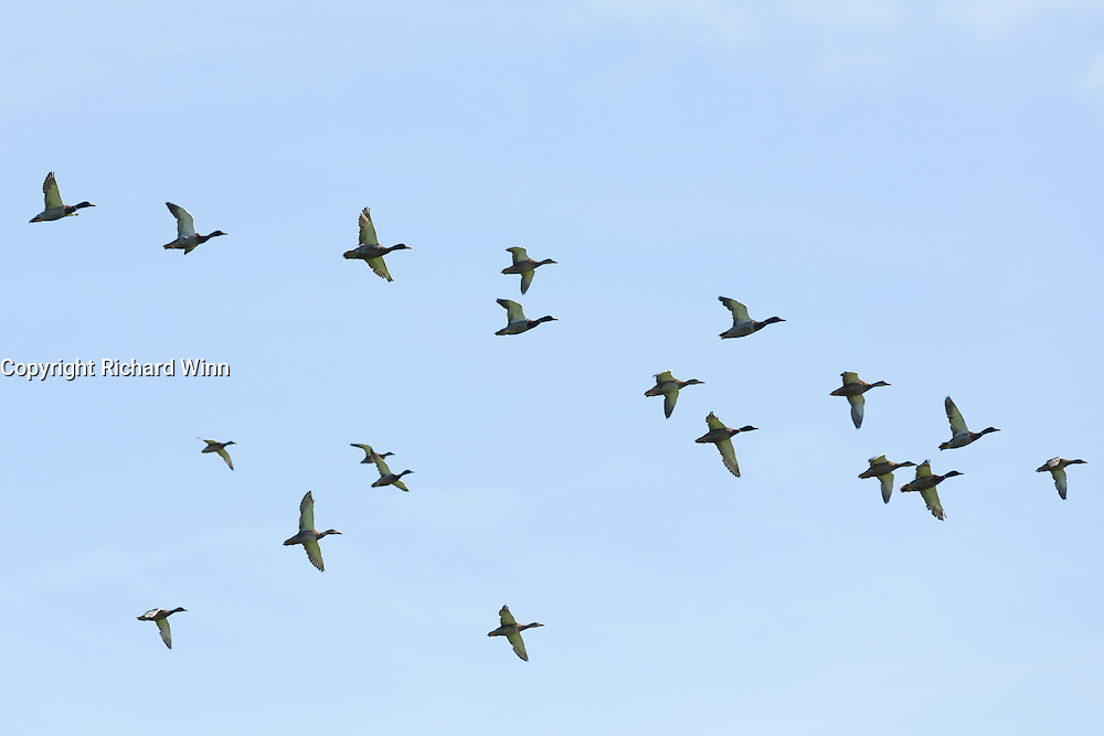 A squadron of ducks in flight in Strathfarrar, in the Scottish Highlands.