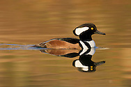 A male hooded merganser swims through the still waters of a wetland slough
