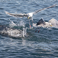 "Gulls pick off tiny fish from the surfaced ""bait ball"" in the waters of the Kenai Fjords National Park, Alaska"