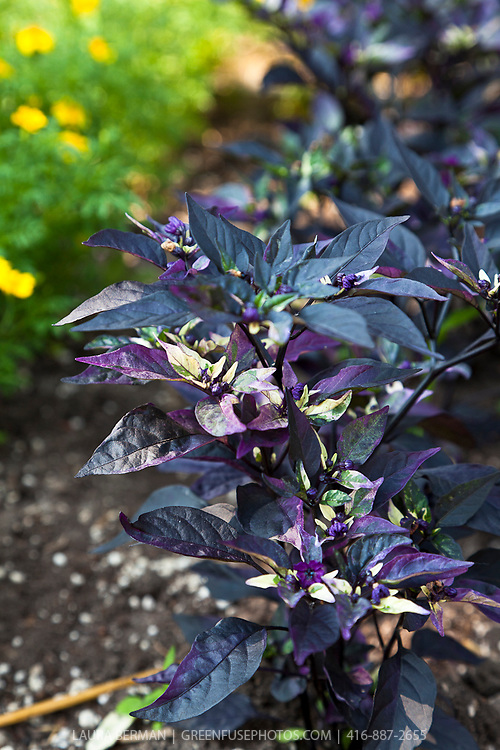 Explosive Ember ornamental pepper (Capsicum annuum Explosive Ember) Small Serano Hot Peppers start out purple and then turn red and yellow, standing above stunning purple foliage.