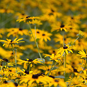Rudbedkia hirta, commonly known as Black-eyed Susan, is a North American species of flowering plants in the sunflower family