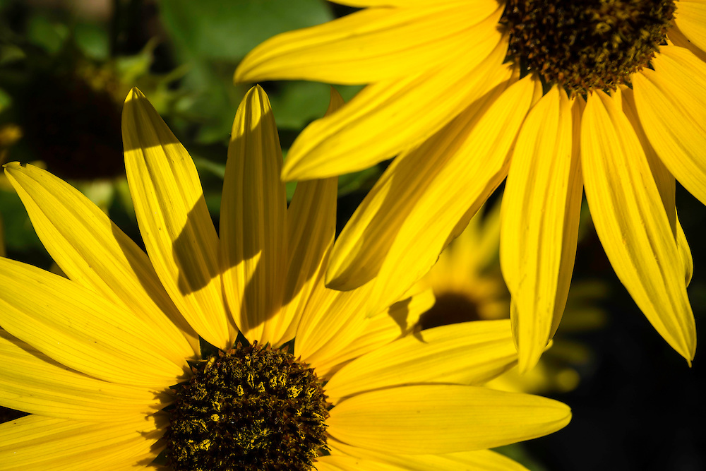 Small yellow sunflowers grouped together in the early morning sun.