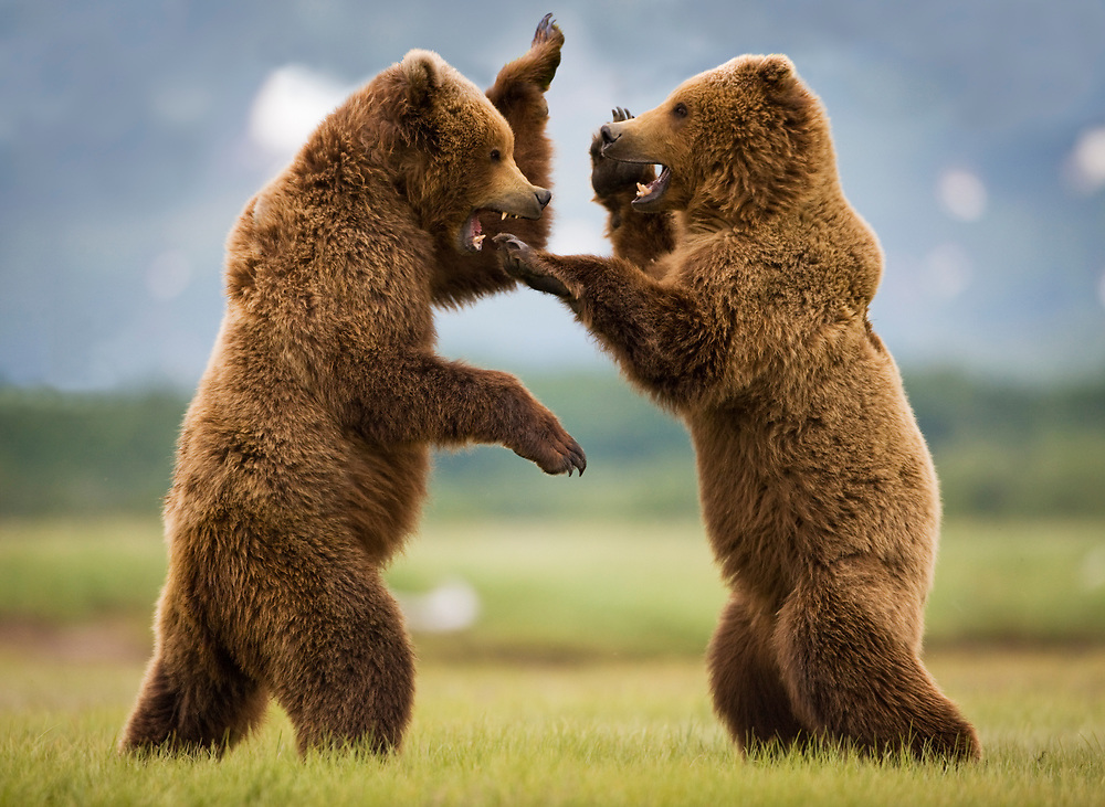 USA, Alaska, Katmai National Park, Brown Bears (Ursus arctos) sparring in meadow along Hallo Bay. Digital Composite.