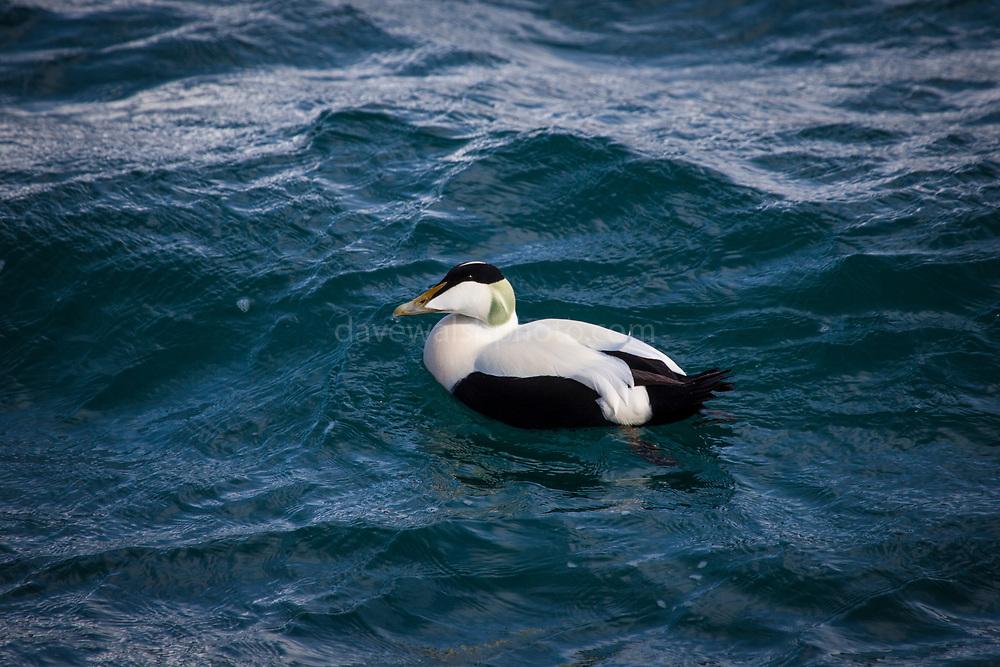 Common Eider Duck, Somateria mollissima near Longyearbyen, on the Arctic island of Spitsbergen, Svalbard.