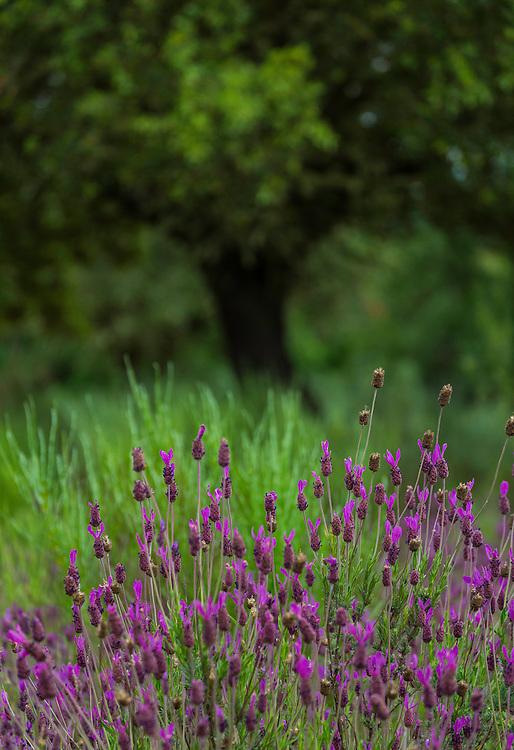 SPANISH LAVENDER (Lavandula stoechas), Campanarios de Azaba Biological Reserve, Salamanca, Castilla y Leon, Spain, Europe
