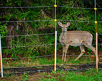 Deer outside the electric fence.  Image taken with a Fuji X-T2 camera and 100-400 mm OIS lens (ISO 1600, 100 mm, f/6.4, 1/40 sec)