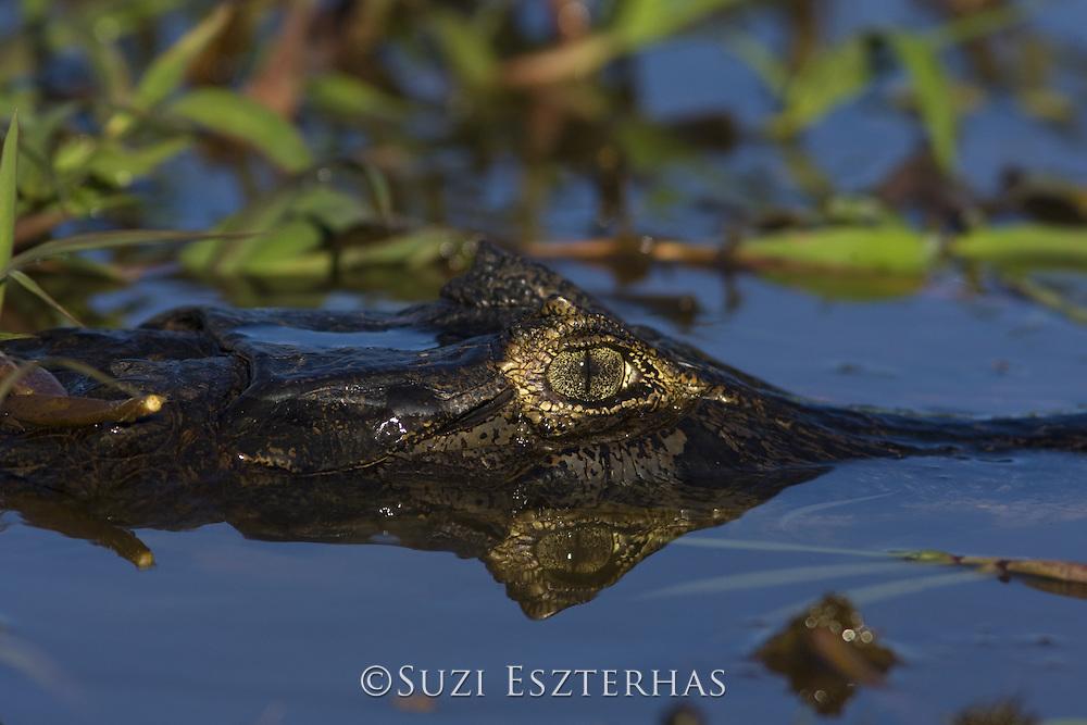 Spectacled Caiman<br /> Caiman crocodilus<br /> Pantanal, Brazil