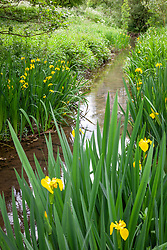 Yellow Flag Iris growing in a damp area by a stream. Iris pseudacorus