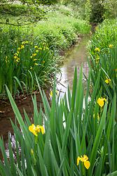 Yellow Flag Iris growing in a damp area by a stream. Iris pseudacorus
