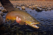 08198-D. An angler prepares to release a male brown trout caught during a late autumn afternoon on the South Fork of the Snake River, Idaho.