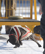 One of the dogs in the under twenty pound class pulls a 125 pound sled down the track during the weight pull competition at the 2010 Kalkaska Winterfest.
