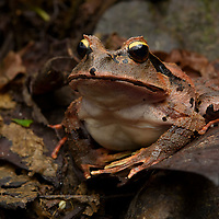 Arfak Cannibal Frog (Lechriodus platyceps)
