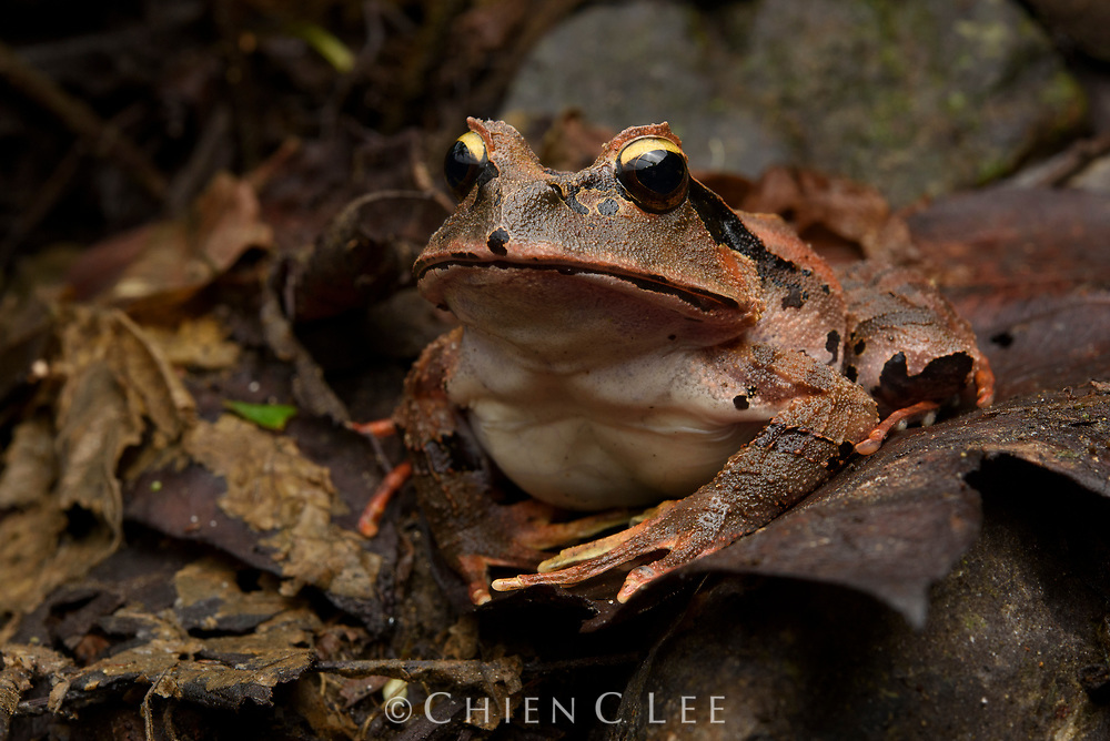 The large Arfak Cannibal Frog (Lechriodus platyceps) is endemic to the mountains of the mountains of the Vogelkop Peninsula of western New Guinea.