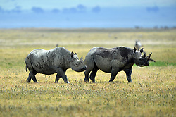 Black Rhinos (Rhinoceros) are pictured in Ngorongoro crater Conservation Area of Southern Serengeti National Park in Arusha Region, Tanzania, on August 25, 2019. Photo by Emy/ABACAPRESS.COM
