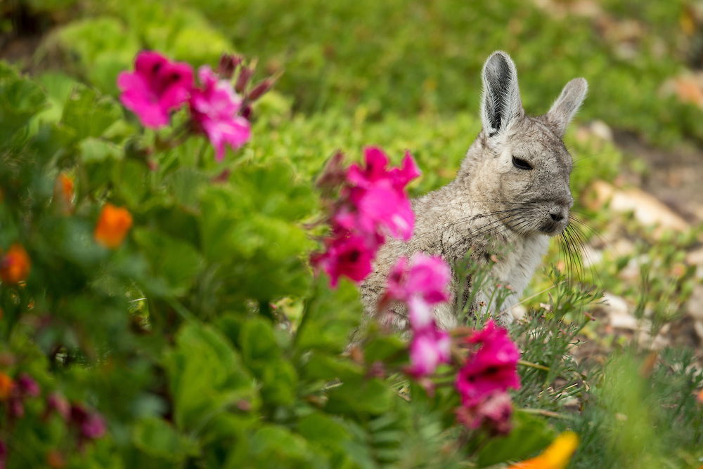 South America, Peru, Lake Titicaca, Suasi Island,  Lagidium ahuacaense; Viscacha; mammal; animal; rodent; wildlife