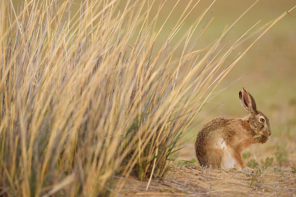 Desert Hare, Lepus tibetanus, Inner Mongolia, China