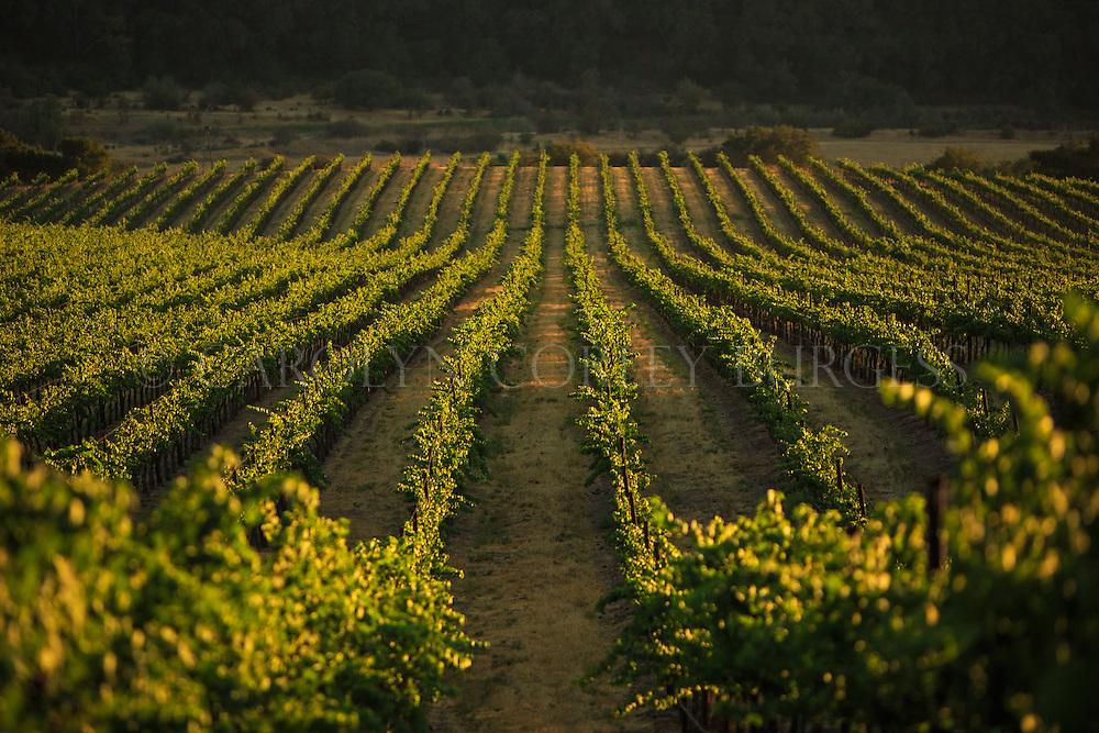 vineyard rows at sunset. santa maria, california. Santa Maria vineyard at sunset. North Canyon Vineyard.