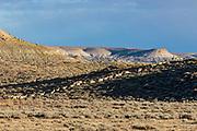 Pronghorn antelope in Wyoming Migratory herd on pronghorn in Southwest Wyoming