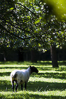 Sheep in an orchard owned by The Orchard Pig, a company producing cider, fruit