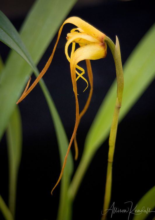 The elongated petals of an exotic yellow orchid spiral against a background of green leaves
