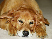 This is a photograph of Sierra our family pet dog of 15 years until she passed away.