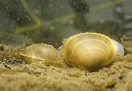 Pea Mussel - Sphaerium corneum