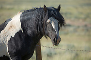 After losing his band during the winter of 2017/2018, the stallion, Washakie, is now leading the bachelor life. He can often be found in the company of other bachelors as they wander the range together.