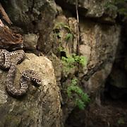 Kanburi Pit Viper (Trimeresurus kanburiensis) male in its limestone habitat in Sai Yok district, Kanchanaburi, Thailand