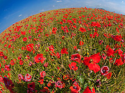 A poppy field surrounds the city-hill of Sancerre in the Eastern-most section of the Liore Valley, France.