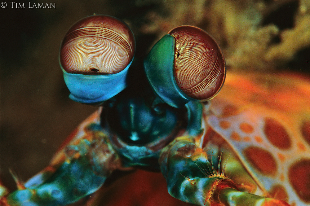 A close-up of the eyes of a smashing peacock mantis shrimp (Odontodactylus scyllarus).  These highly comlex eyes can detect UV and polarized light.  Each circle on the surface of the eye is a cornea that admits light.