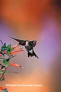 01162-089.04 Ruby-throated Hummingbird (Archilochus colubris) male on Cigar Plant (Cuphea ignea) Shelby Co.  IL