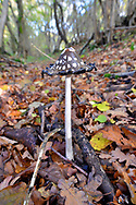 Magpie Inkcap - Coprinopsis picacea, Stoke Wood, Oxfordshire