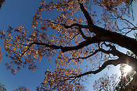 WESTERN SOAPBERRY TREES