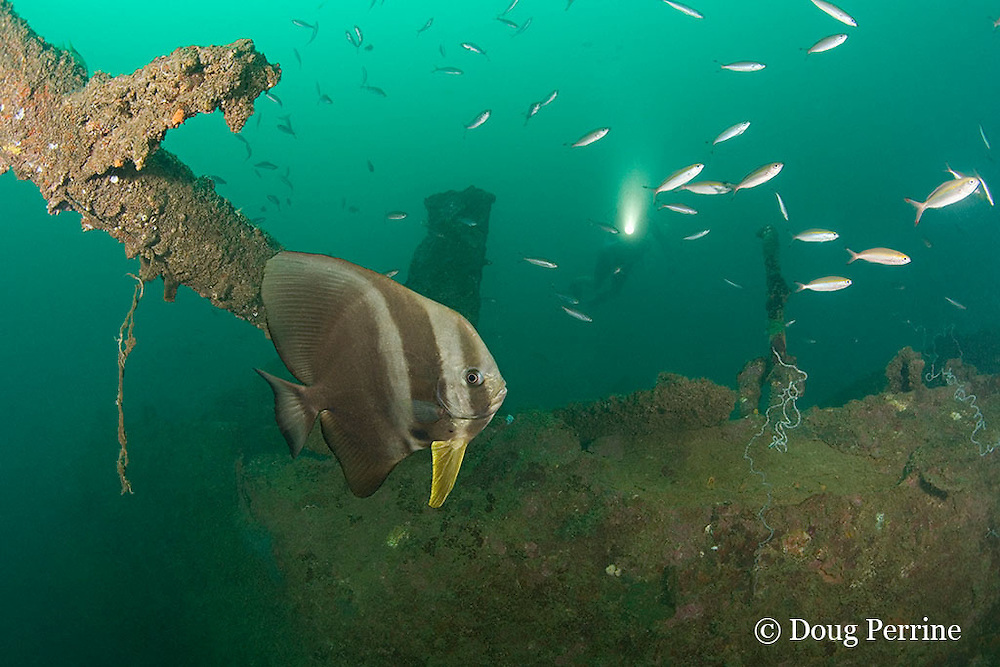 longfin spadefish or tiera batfish, Platax teira, on the wreck of a 100 m long American LST ( Landing Ship - Tank ) sunk at the end of WWII. The wreck sits upright at a depth of 28-35 m of water in Ilanin Bay, within Subic Bay, Philippines, MR 378
