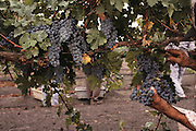 Napa Valley, California. Hand harvesting of Cabernet Sauvignon grapes, which will be made into red wine. Johnson Turnbull Winery.