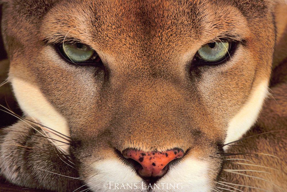 Cougar male, Puma concolor, Belize