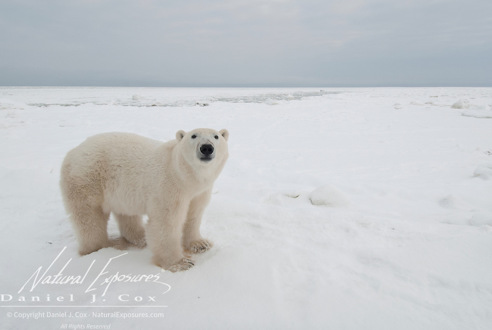 Polar Bear (Ursus maritimus) waiting for the ice to freeze. Cape Churchill, Manitoba, Canada