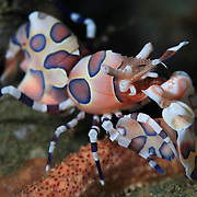 Harlequin shrimp (Hymenocera elegans) standing guard over its captive starfish. Ambon, Indonesia
