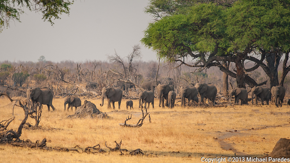 A herd of wild elephant emerge from the forest at Hwange, Zimbabwe