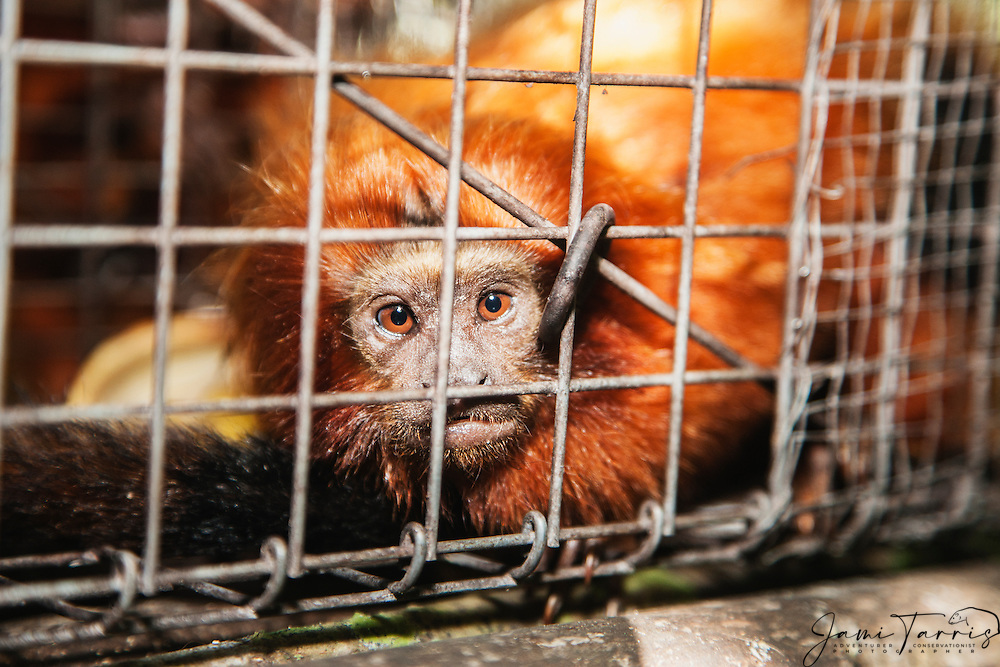 Portrait of an endangered golden lion tamarin (Leontopithecus rosalia) caught in a trap set by the research scientist, Brasil, South America