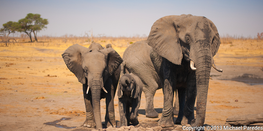 Elephants drink voraciously during the dry season in ZImbabwe, sometimes walking through the night to get to water.